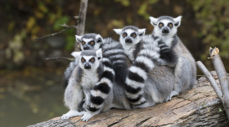 Four lemurs sitting on a branch