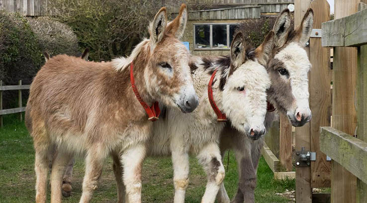 Three rescued donkeys