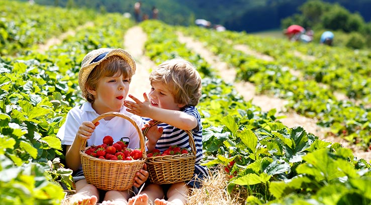 Children picking strawberries