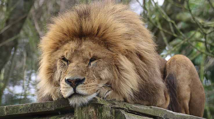 A male lion at Newquay Zoo