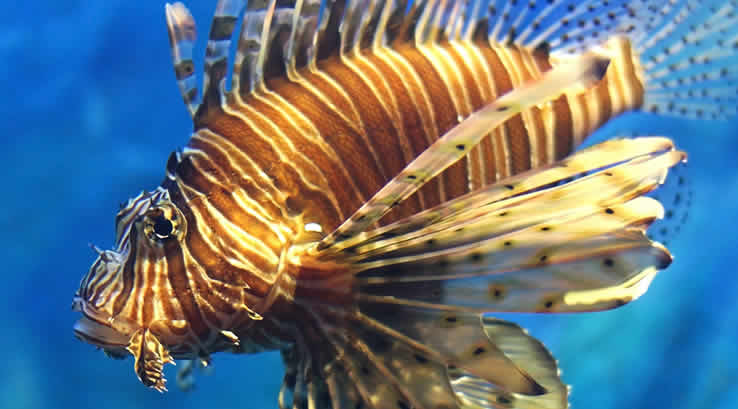 A Lionfish swimming