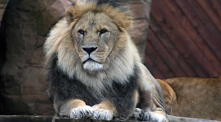 A male lion at Colchester Zoo