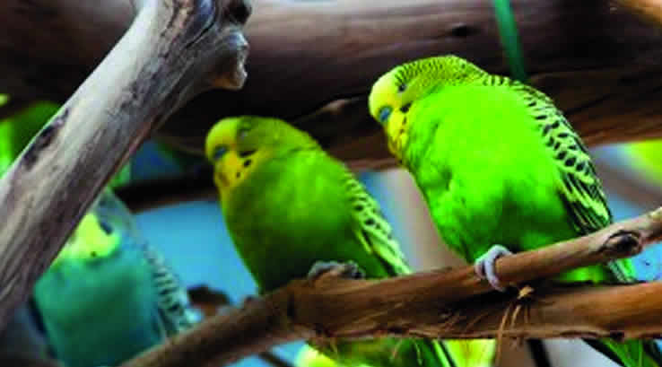 Colourful budgerigars