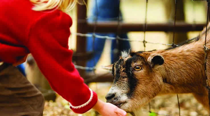 Girl feeding a goat at Tweddle Farm