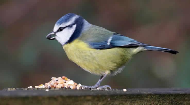 A blue tit eating seeds