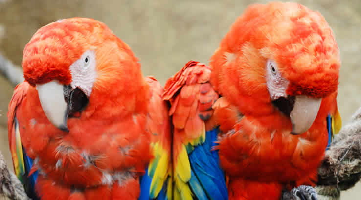 Two scarlet macaws on a rope