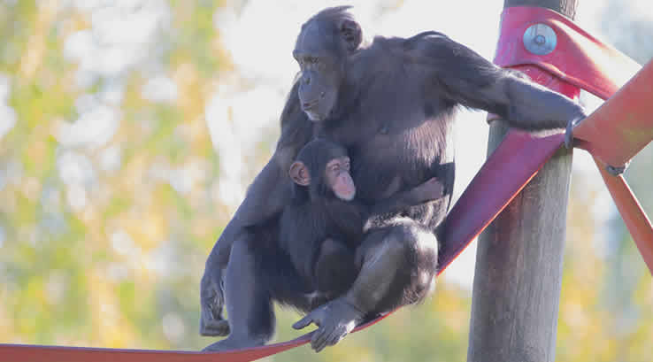Mother and baby chimpanzee on a rope bridge