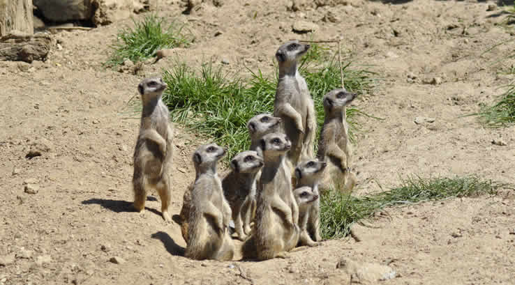 A group of meerkats at Newquay Zoo