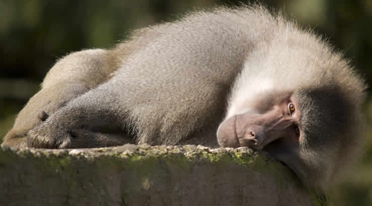 Baboon resting on a rock at Paignton Zoo