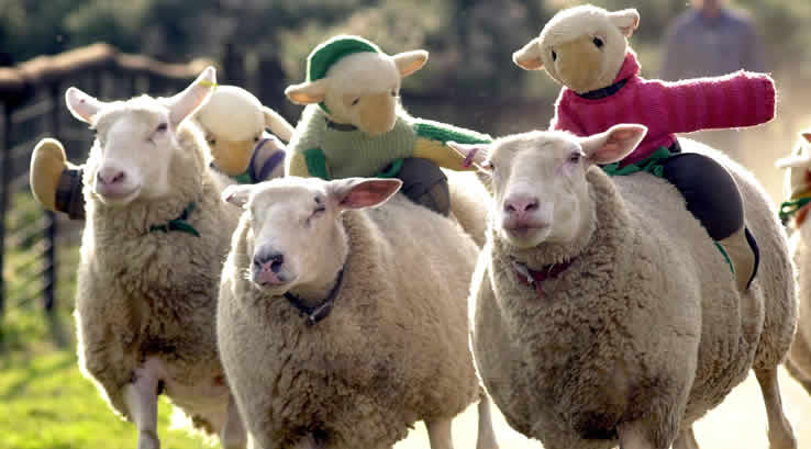 Sheep racing at The Big Sheep